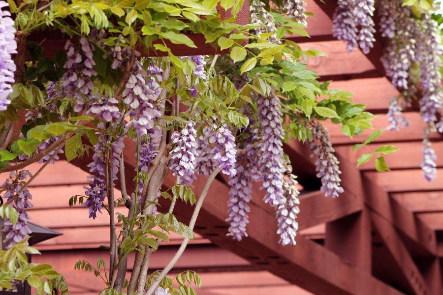 pergola met wisteria